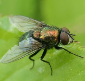 how to get rid of houseflies in the house