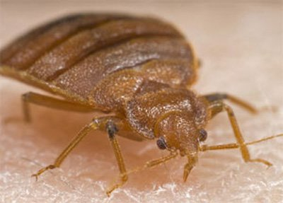 What Makes Bed Bugs So Difficult To Remove?