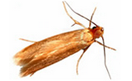 An image of a clothes moth