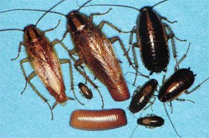 German Cockroaches