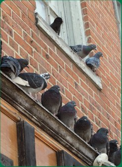 Pigeon Control London