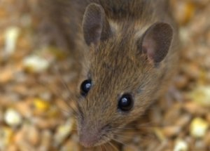 Brown-Mouse