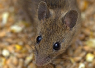Have You Got a Mouse in Your House? How Can You Tell?