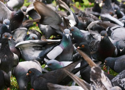 5 Problems Posed By Pigeons That Need An Effective Solution